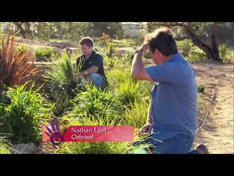 Creating a low maintenance drought tolerant garden lomandra creating a low maintenance drought tolerant garden lomandra dianella and phormium youtube thecheapjerseys Image collections