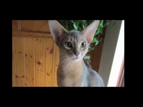 Dexter the Blue Abyssinian cat dragging his blanket