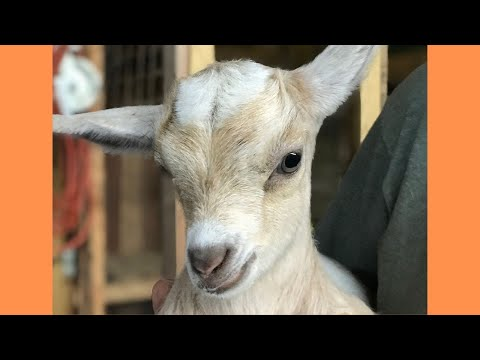We Visited a Fainting Goat Farm in West Virginia - And Goat ASMR