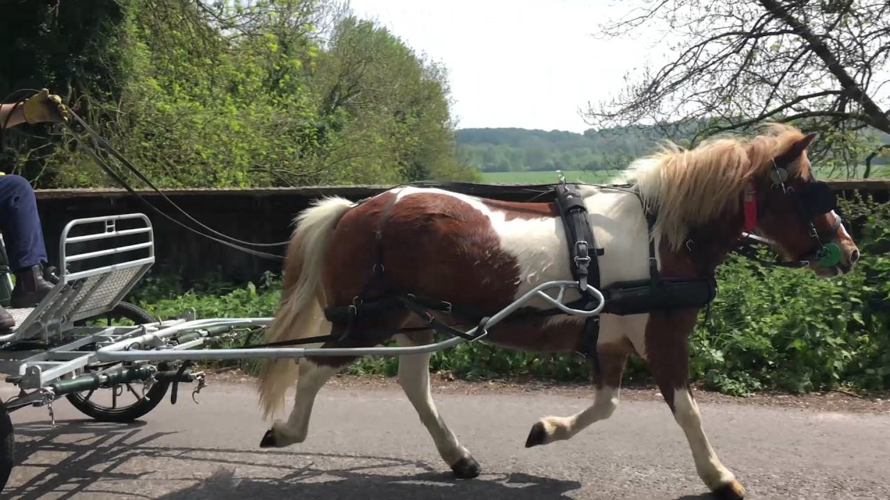 from rescue pony to driving pony sam the dartmoor hill pony [ 1280 x 720 Pixel ]