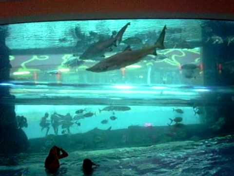 Piscina p blica con tiburones en las vegas golden nugget for Piscina de peces
