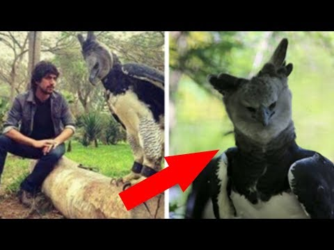 The Harpy Eagle Is A Bird So Big That Some People Think It's A Person In A Costume