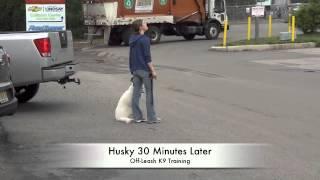 Husky Mix Before/after Heel Lesson! Dog Training New Jersey, North Carolina, And Philadelphia