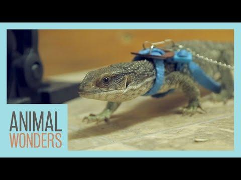 Meet and Greet: Sampson The Savannah Monitor
