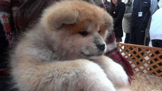 2012年の 大館アメッコ市にて撮影した、秋田犬の子犬です。全部で3匹い...