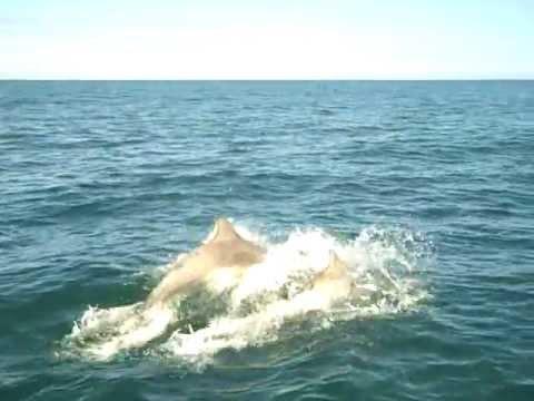 Bow-riding Dolphins 19.6.2012 Cardigan Bay