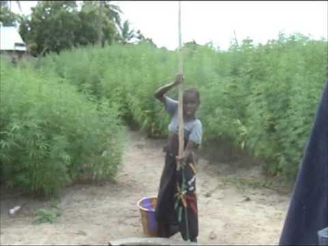 plantacion ganja west africa