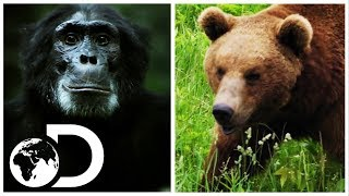 Bear vs. Chimpanzee: Which Animal Do You Think Would Win? | Discovery UK