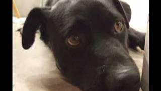 Stray Dog Needs A Home Labrador Retriever