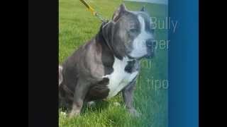 Differenza Tra Bully E American Pit Bull.wmv