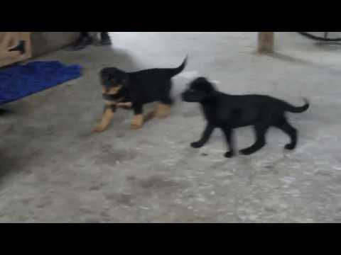 Rottweiler Mixed Puppies For Sale