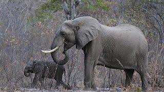 Administração Trump deverá permitir importação de troféus de caça