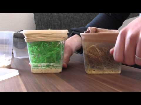 Ameisen Fütterung Drosophila melanogaster