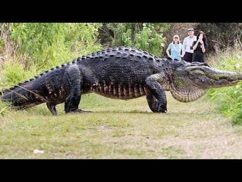 Giant Alligator The Size Of A Car Walks Across Florida Golf Course Incredible Youtube