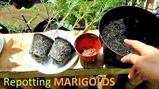 Repotting MARIGOLDS