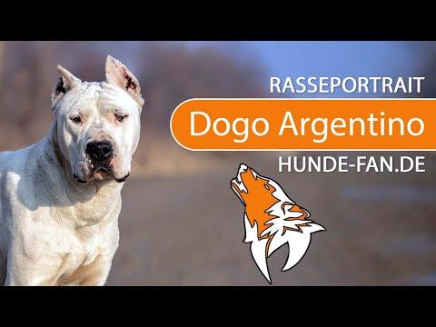 Dogo Argentino [2019] Rasse, Aussehen & Charakter