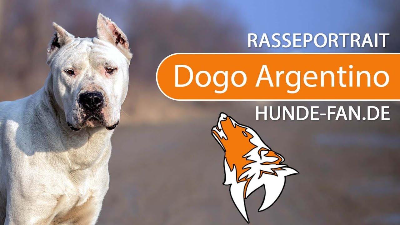 Dogo Argentino [2019] Rasse, Aussehen & Charakter - YouTube