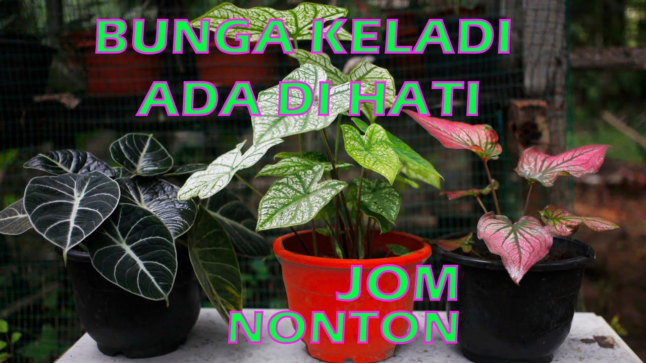 Download PENCINTA BUNGA KELADI PART 2