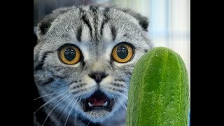 CATS VS CUCUMBERS - FUNNY VIDEOS - CATS COMPILATION - FUNNY AND CUTE ...