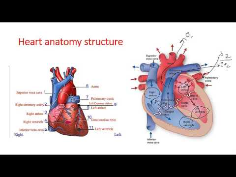 Cardiac anatomy lecture