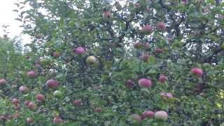 Как правильно проводить осеннюю обрезку яблони и когда её лучше делать + схема и видео