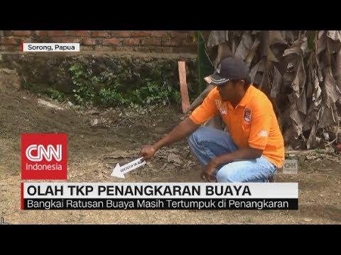 Olah TKP Pembantaian Buaya di Sorong