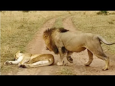 How Not to Wake Up a Lioness!