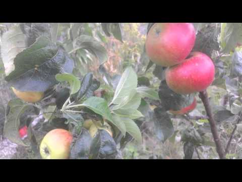 Apple variety Discovery: A very early apple!