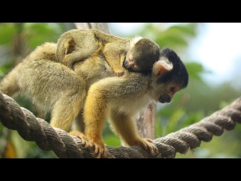 Thumbnail: Adorable baby squirrel monkey