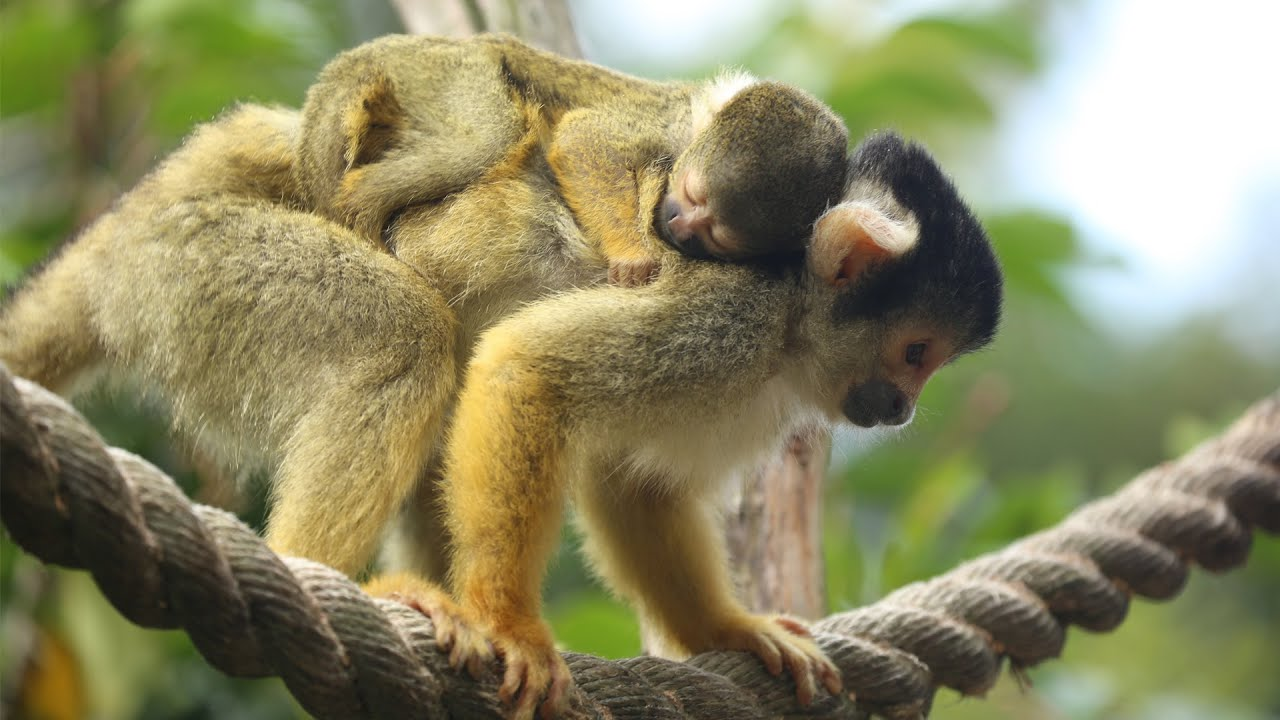adorable baby squirrel monkey youtube