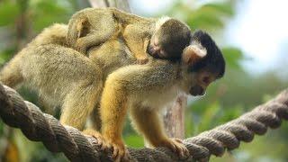 Adorable baby squirrel monkey