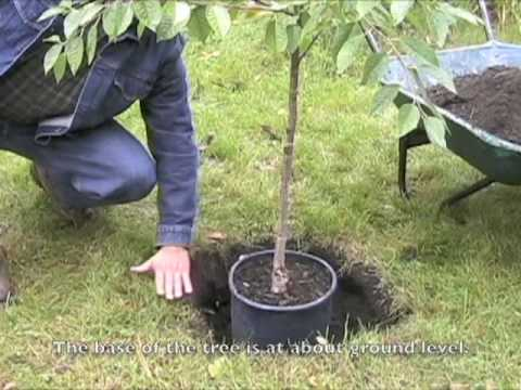 planting a cherry tree, Natural flower