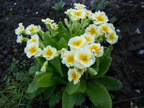 Размножаем примулу садовую (первоцвет)