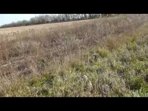 Wild Pheasant Hunting In Illinois