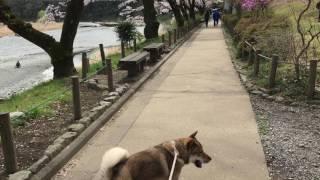 https://blogs.yahoo.co.jp/yoshihidegou 青梅市の釜の淵公園にてお花見.