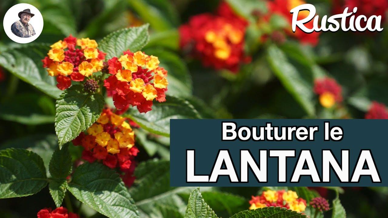 Download Comment bouturer le lantana