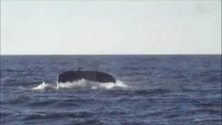 humpback whale mating ritual