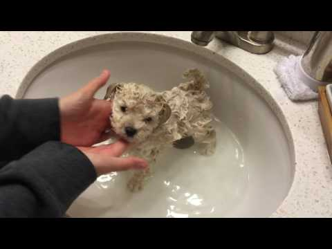 Alfonso's Adventures - Maltipoo Puppy - 1st Bath
