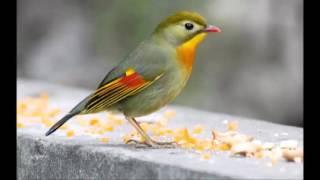 Suara Robin Betina Untuk Pemancing Bunyi