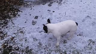 французский бульдог Веня и снег