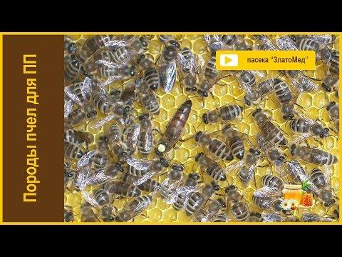Порода пчел для промышленного пчеловодства.