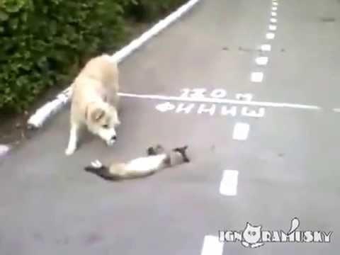 Gato engracado finge de morto for Criceto morto