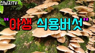 야생 식용버섯 ! 산남자 약초 버섯 산행 항암 자연 건…