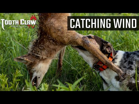 Catching Wind – Coyote Hunting