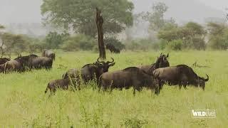 WILDLive! - Tanzania - Gnous - S03 E06