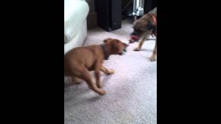 Patterdale X Lakeland Vs Border Terrier