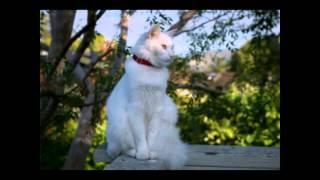 Ангорская кошка. (Турецкая ангора)