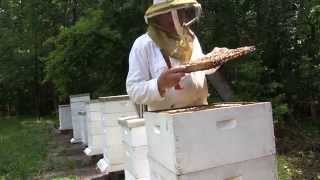 Saving the Honeybee with Genetics and Beekeeping