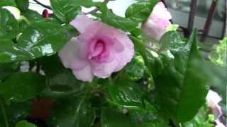 雨の禁野車塚古墳&白花露草・花壇の花.♪野に咲く花のように・
