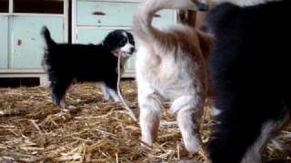 Aussi Puppies Pulling A Rope